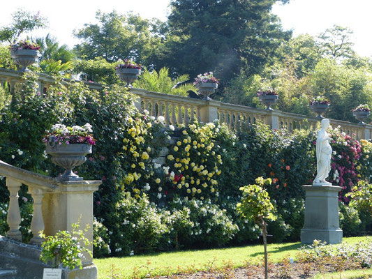 Die Kletterrosen unterhalb der Balustrade im Italienischen Rosengarten sind bereits aufgeblüht.