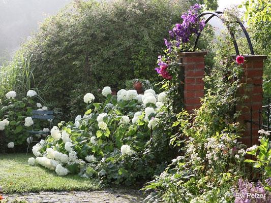 Schneeballhortensie 'Annabelle' im Garten Pelzer