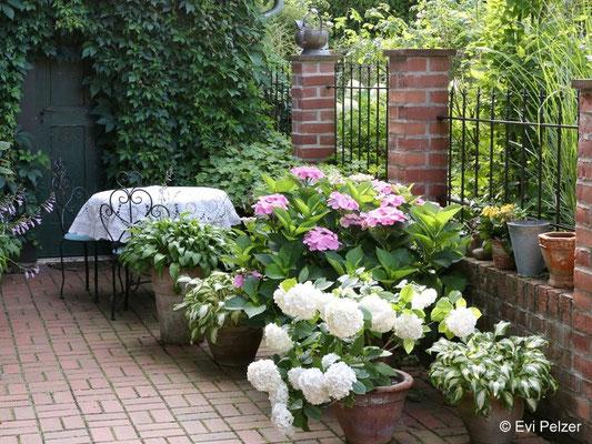 Topfhortensien auf der Terrasse im Garten Pelzer
