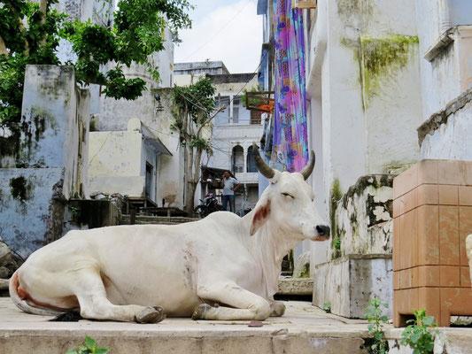 Hinter der heiligen Kuh