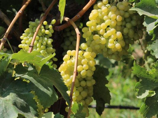 Türkei gleich Weintraubenland