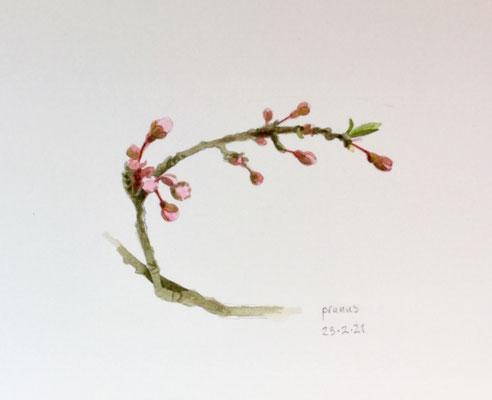 23-2-2021 ; Annette Fienieg:  Prunus