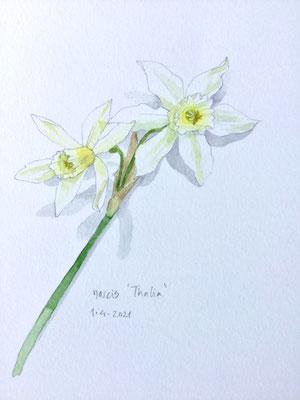 Annette Fienieg: Narcissus 'Thalia', 1-4-2021