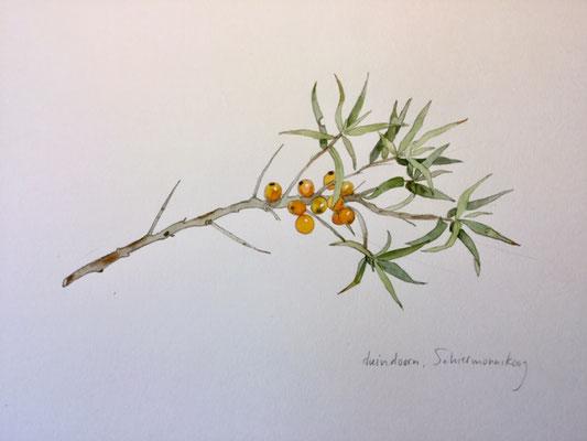 duindoorn, aquarel en potlood Annette Fienieg 2019