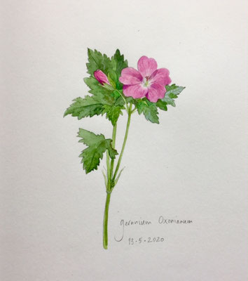 Annette Fienieg: Geranium oxonianum