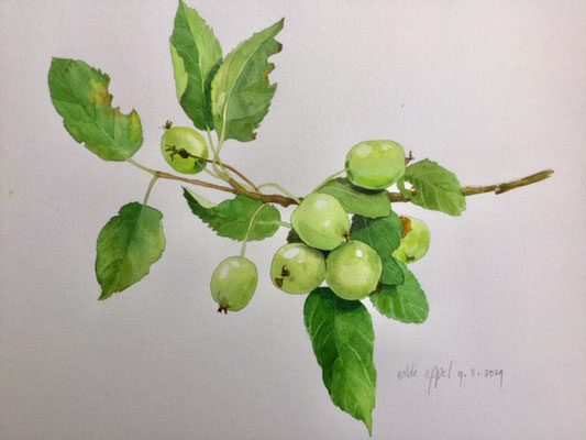 Annette Fienieg: Wild apple, watercolour