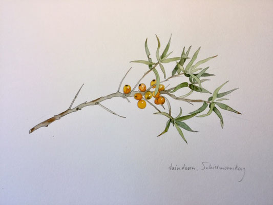 buckthorn, pencil and watercolour Annette Fienieg 2019