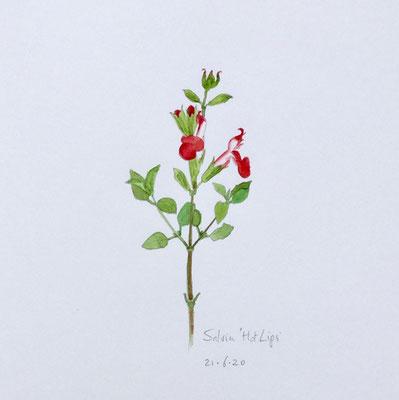 Annette Fienieg: Salvia 'Hot Lips'