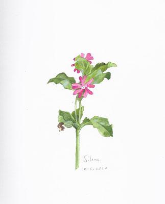 Annette Fienieg: Cuckoo flower