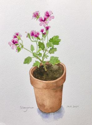 Annette Fienieg: New pelargonium, 24-5-2021