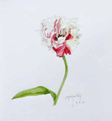 Annette Fienieg: Parrot tulip