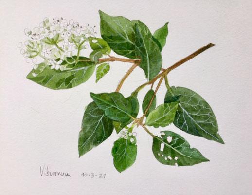 10-3-2021: Viburnum, Annette Fienieg