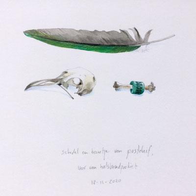 Annette Fienieg: Schedel en botje van een postduif, veer van een halsbandparkiet; 18-11-2020