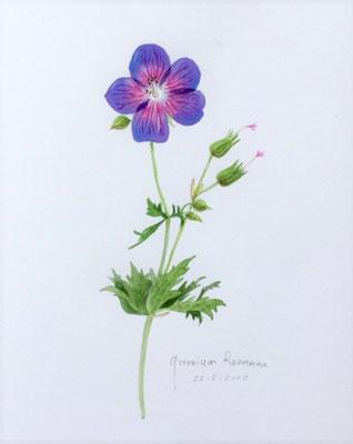 Annette Fienieg: Geranium Rozanne