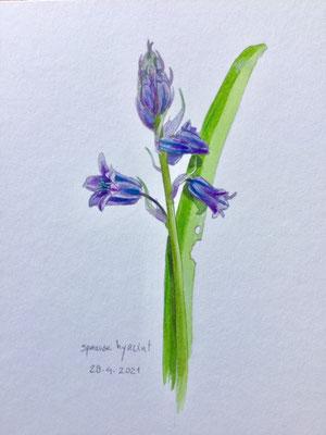 Annette Fienieg: Spaanse hyacint, 28-4-2021