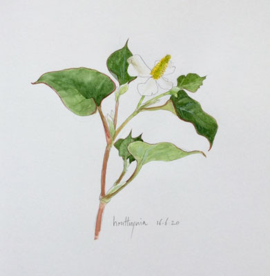 Annette Fienieg: Houttuynia