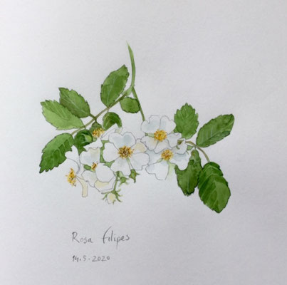 Annette Fienieg: Rosa filipes