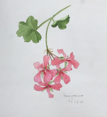 Annette Fienieg: hanging geranium