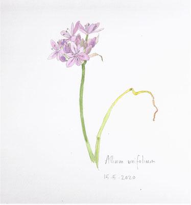 Annette Fienieg: Allium unifolium