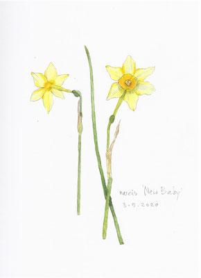 Annette Fienieg: Narcissus 'New Baby'
