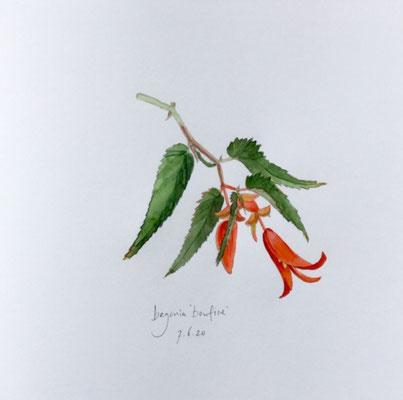 Annette Fienieg: Begonia 'Bonfire'