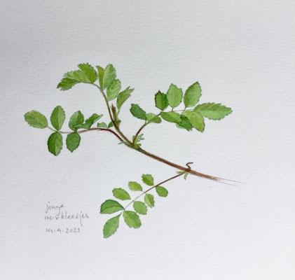 Annette Fienieg: Jonge rozenblaadjes, 14-4-2021