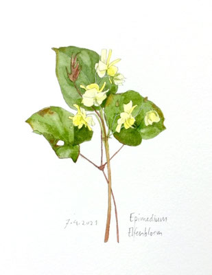 Annette Fienieg; Epimedium Elfenbloem, 7-4-2021