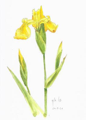 Annette Fienieg: Yellow iris