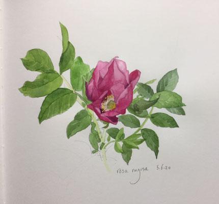 Annette Fienieg: rosa rugosa