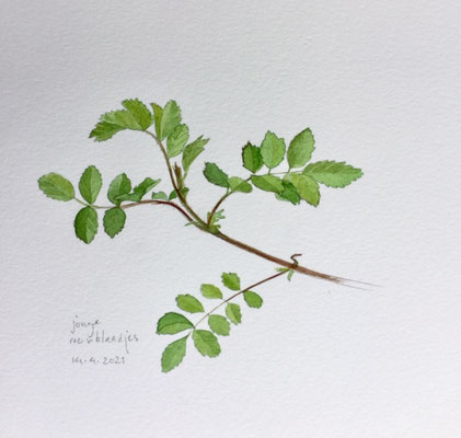 Annette Fienieg: Young rose leaves, 14-4-2021