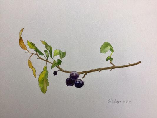 Annette Fienieg: Sleedoorn, aquarel