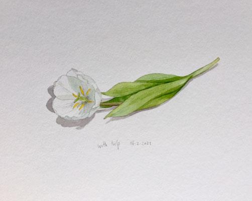 16-2-2021 White tulip, Annette Fienieg