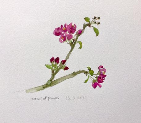Annette Fienieg: Prunus, 23-3-2021