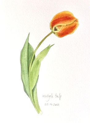 Annette Fienieg: Red and yellow tulip, 22-4-2021