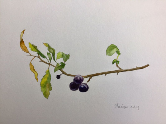 sloe, pencil and watercolour Annette Fienieg 2019