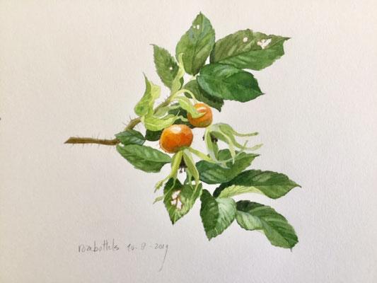 rozebottels, aquarel en potlood Annette Fienieg 2019