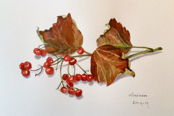 viburnum, pencil and watercolour Annette Fienieg 2019