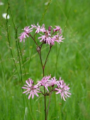 Lychnis, fleur de coucou, zones humides en général
