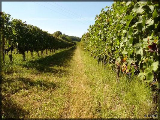 Rangs de vignes sur le bassins versant du Marmant