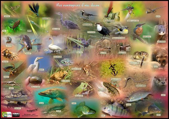 Poster sur les espèces de faune d'eau douce réalisé par Eugénie Le Dahéron