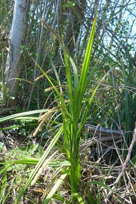 Carex pendula, zones humides