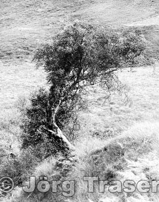 Schiefer Baum Schottland