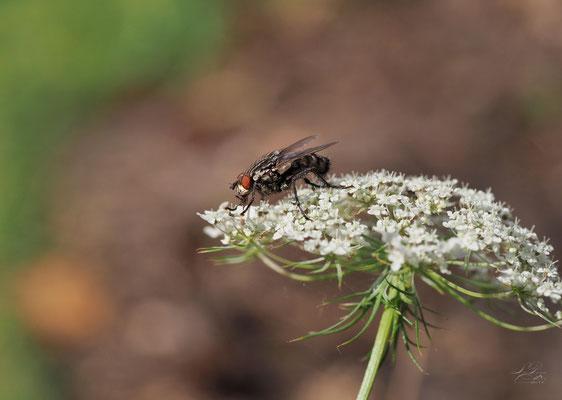 Fliege auf Wildmöhre