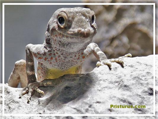 "Prisrurus carteri -  "" Masirah Island """