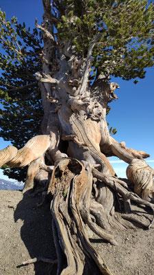 Die älteste Ceder von Kalifornien