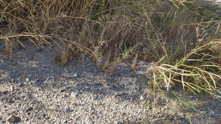 Horney Toad, perfekt an die Umgebung angepasst