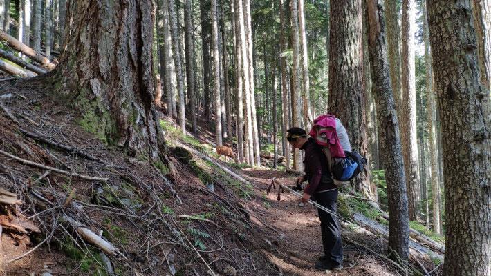 Das Reh im Hintergrund, auf dem Trail