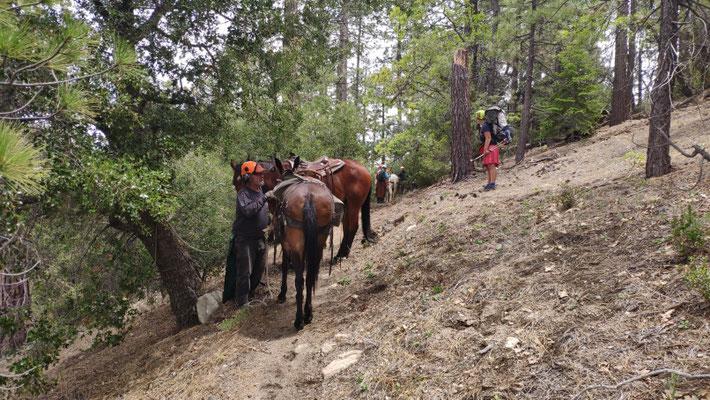 Pferde schleppen das schwere Gerät