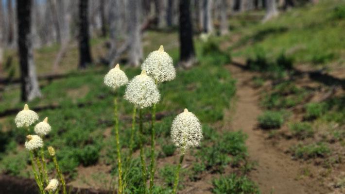 Beargrass: Überall dort, wo es verbrannte Bäume gibt, wächst das hübsche Beargrass und haucht dem Wald neues, blühendes Leben ein.