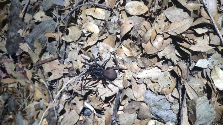 Am Abend krabbeln die Spinnen gerne auf dem Trail rum, diese ist ca. 10 cm groß